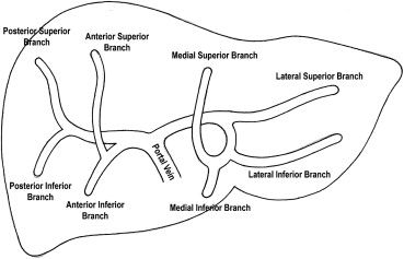 Diagrammatic representation of the normal liver portal