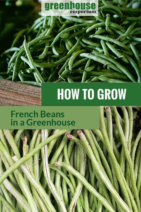 How To Grow French Beans In A Greenhouse Greenhouse 400 x 300