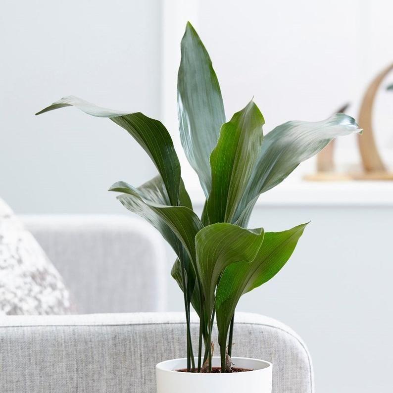 31 Best Low Light Indoor Plants And How To Care For Them In 2020 Pflanzen Zimmerpflanzen Ideen Luft Reinigen Pflanzen
