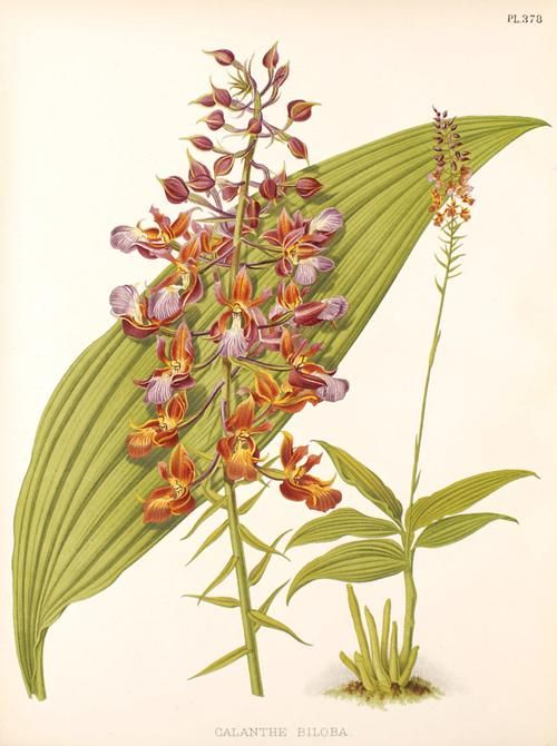 The genus Calanthe is a widespread genus of terrestrial orchids (family Orchidaceae) with about 150 species. The genus is found in all tropical areas, but mostly concentrated in Asia.