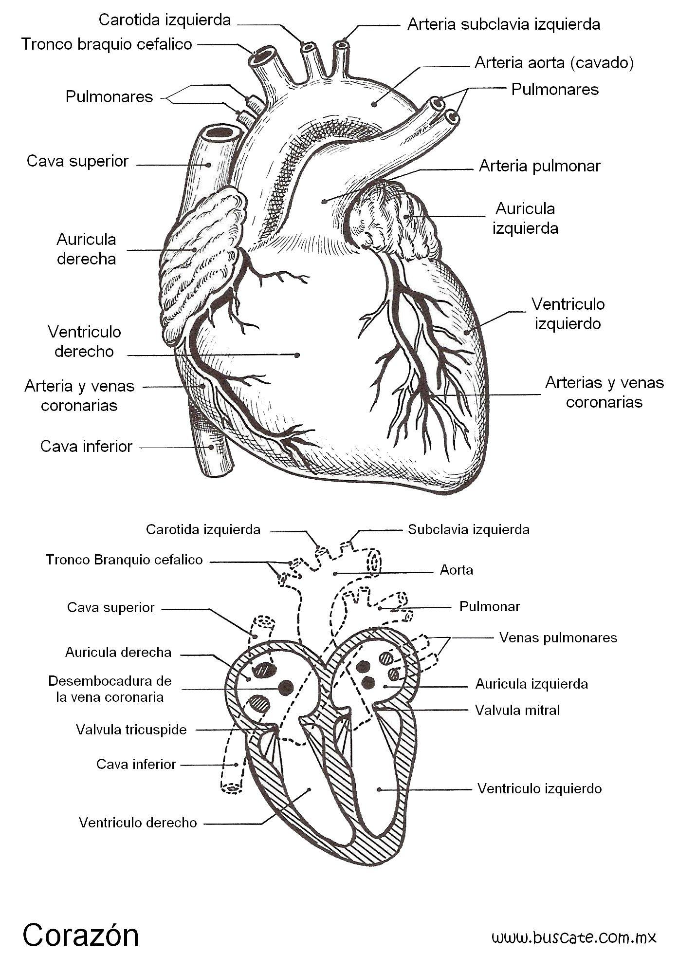 Esquema del corazón con el nombres de sus partes. | Salud ...