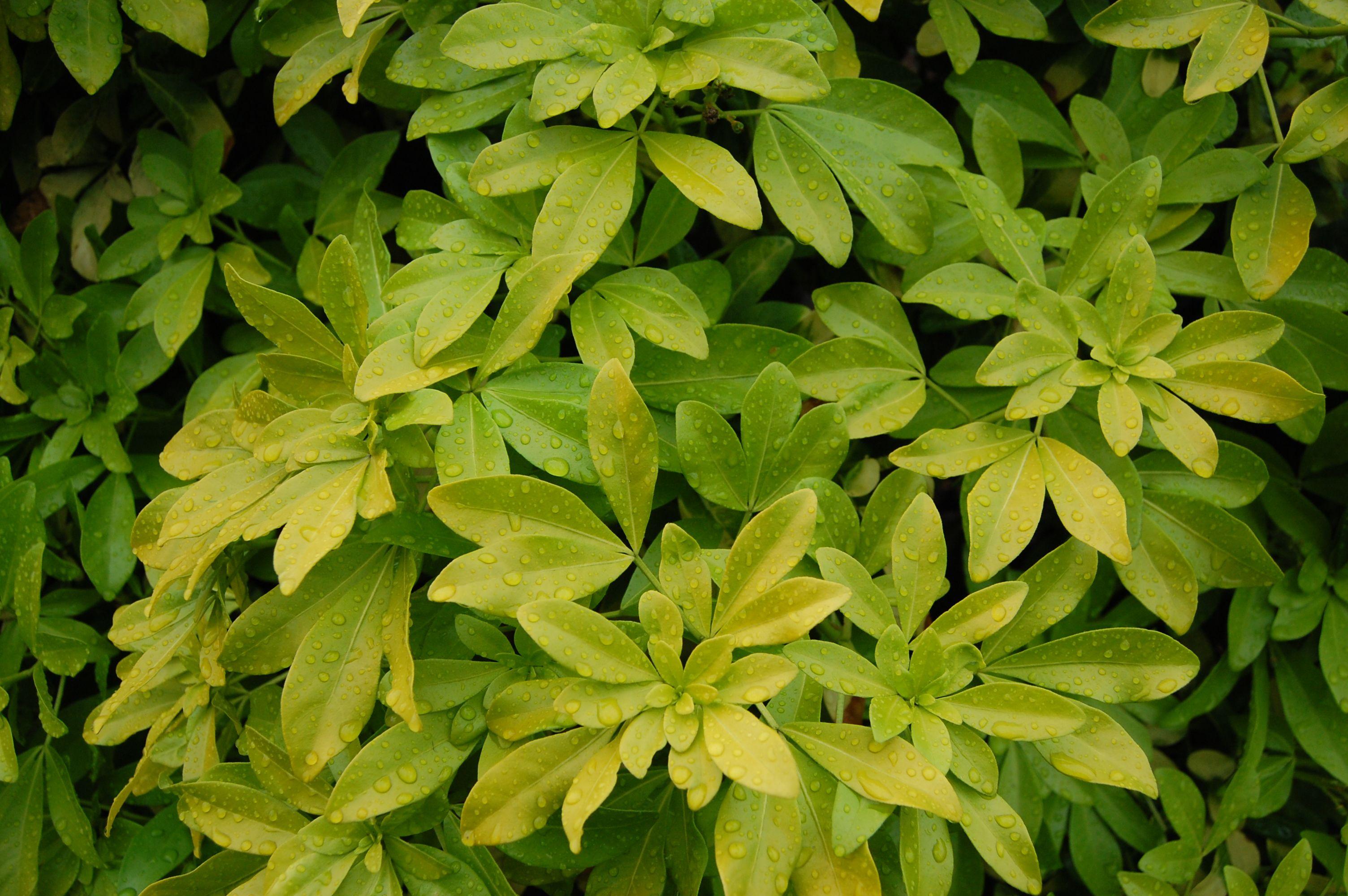 Choisya Ternata Sundance Macnaughton Plants Pinterest Plants