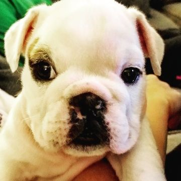 Bulldog Puppy For Sale In Haymarket Va Adn 23134 On Puppyfinder