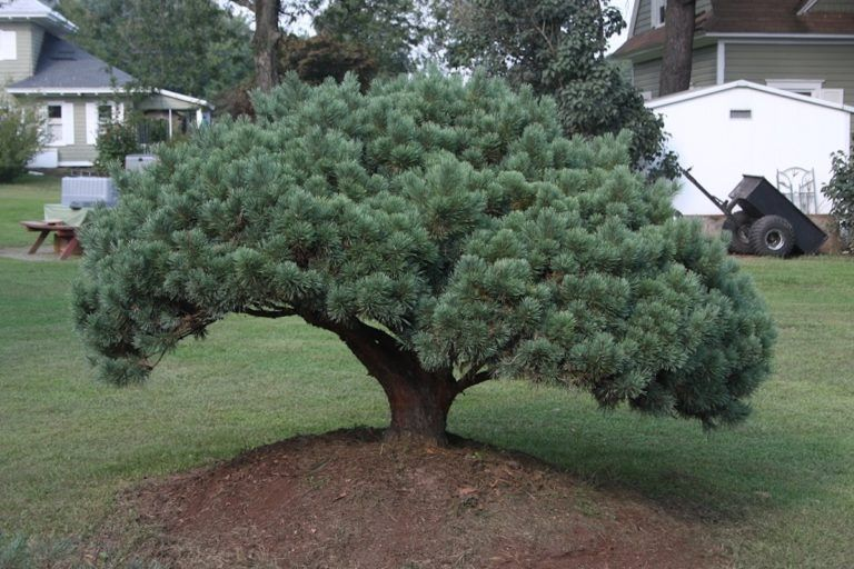 Dwarf Trees - Hickory Hollow Nursery and Garden Center in ...