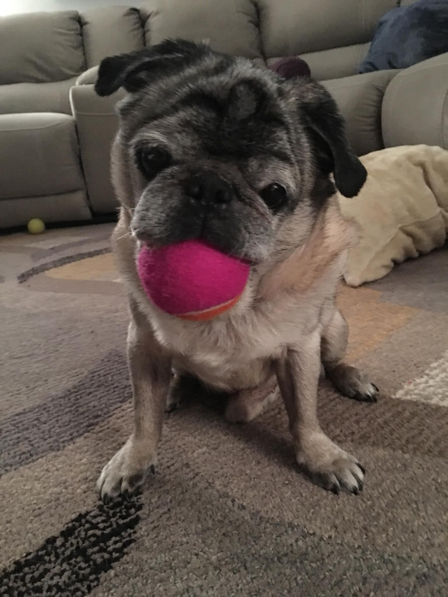 Pin By John Walls On Pug World Pugs Pug Pictures The Fosters