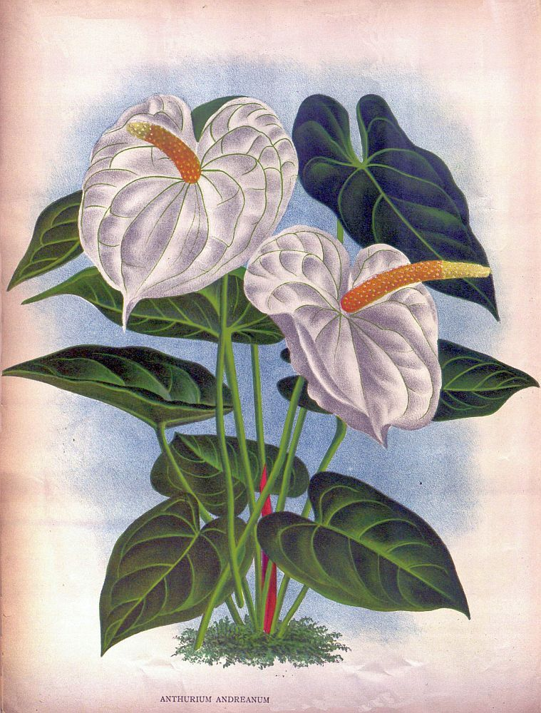 Antique French Botanical Print White Anthurium Tropical Flower Etsy Tropical Flowers Illustration Flower Drawing Botanical Illustration