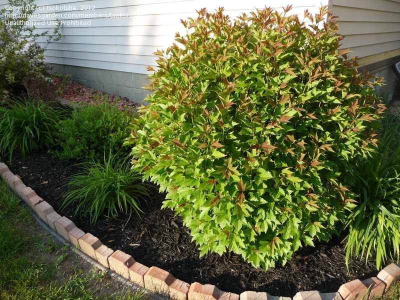 Full Size Picture Of American Cranberry Bush Tree With Images