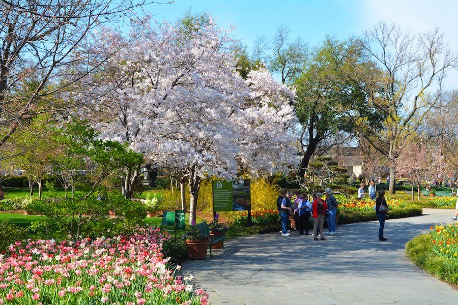 Cherry Tree Blossoms Dallas Blooms Dallas Arboretum Dallas Blooms Deep In The Hearts Of Texan Dallas Arboretum Cherry Blossom Tree Dallas Texas Attractions