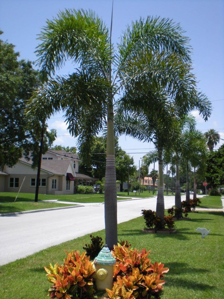 Landscaping With Bromeliads Multi Foxtail Bromeliad Gardening Winkler Landscape Florida Landscaping Small Backyard Landscaping Palm Trees Landscaping