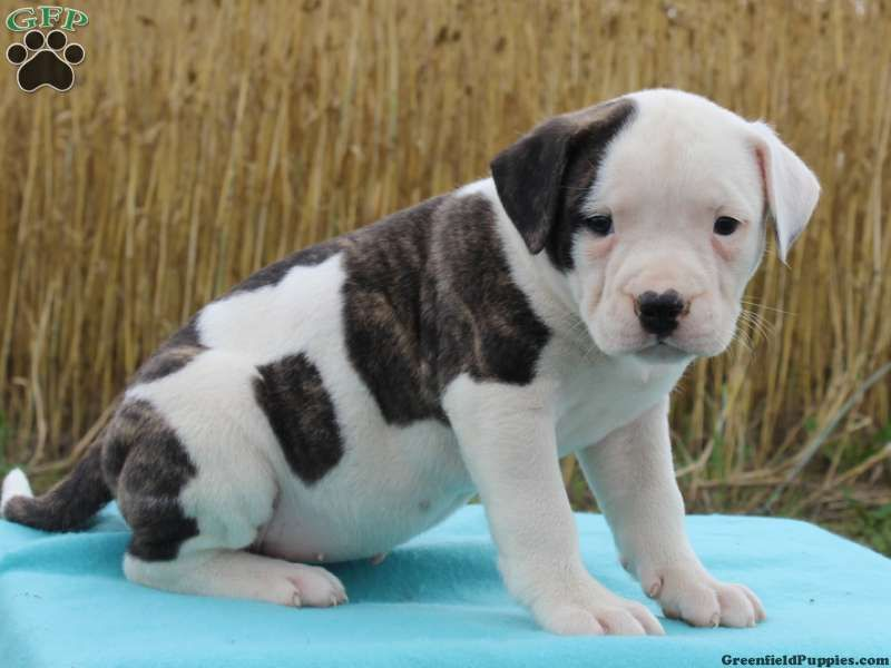 Ellie American Bulldog Puppy For Sale In Pennsylvania American