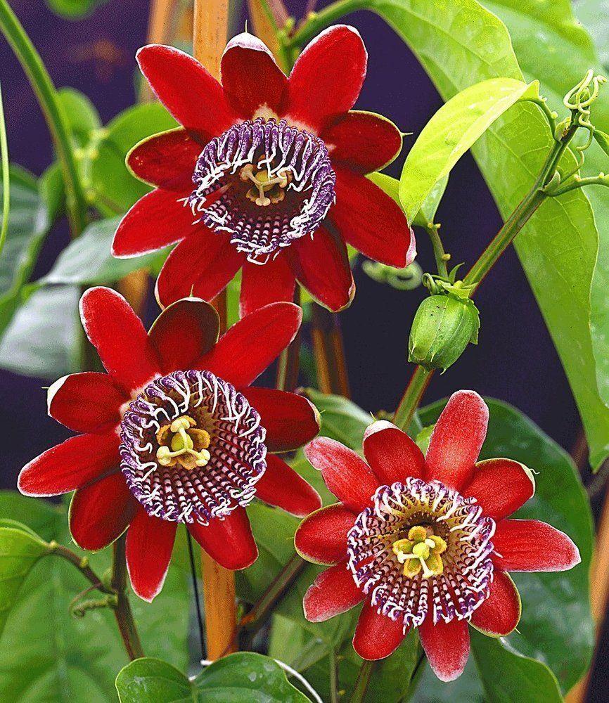 Great BALDUR Garten Passionsblume Alata Pflanze Passiflora alata Amazon de