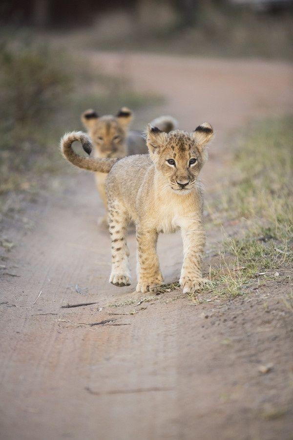 lion cub exploring