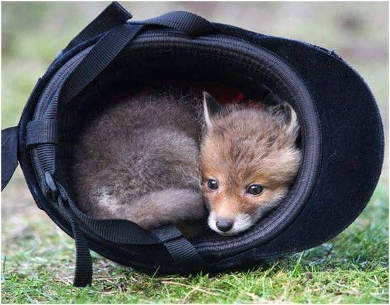 little fox cub in a helmet!