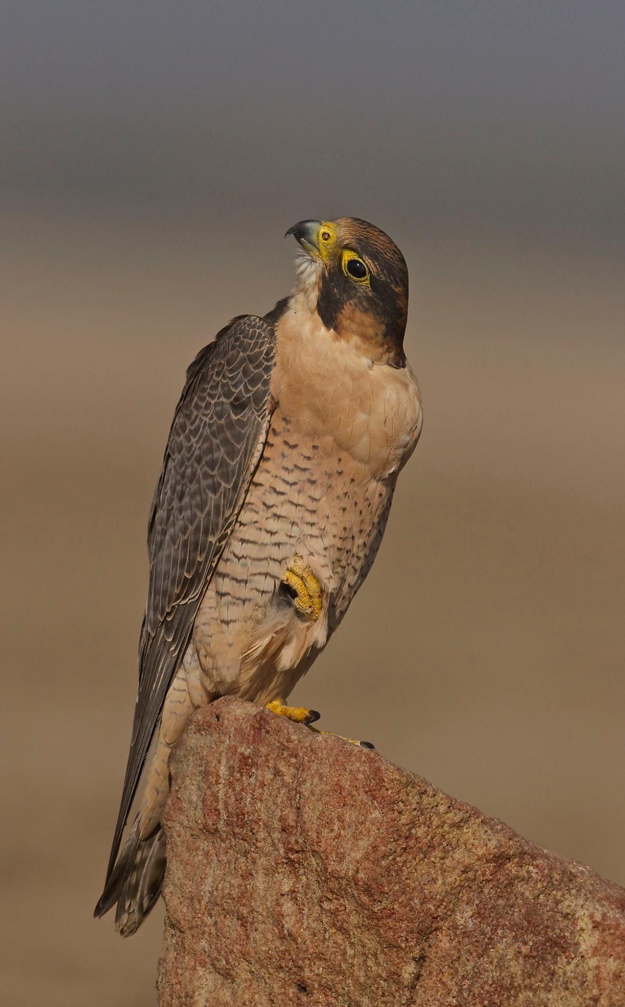 Red Naped Shaheen Falcon Peregrine Birds Of Prey Kestrel Raptors Falcons