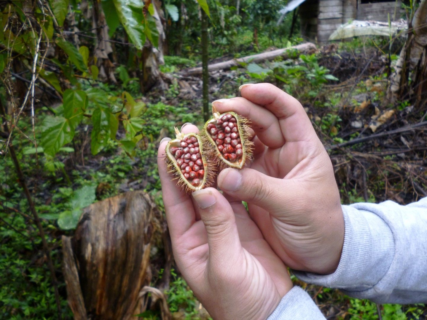 Showing exotic seeds found in a tree in Ecuador