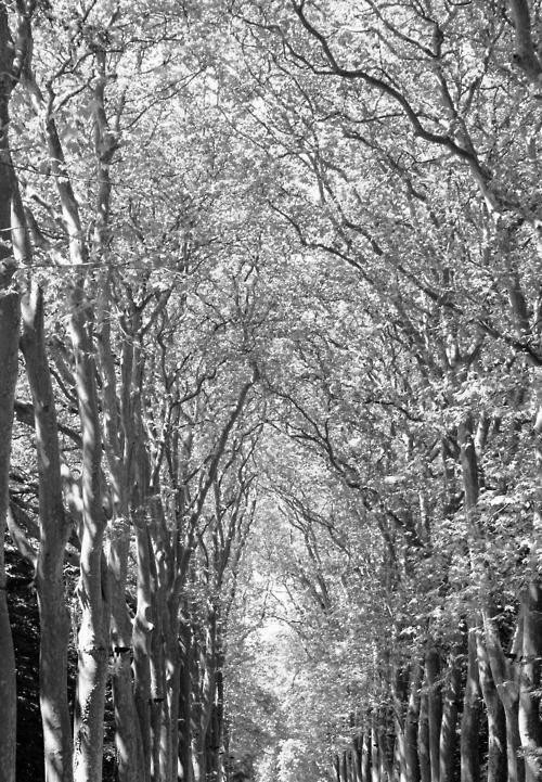 Desire under the Elms by Eugene O'Neill - Picture of elm trees leading to Chateau Chenonceau, Loire Valley France