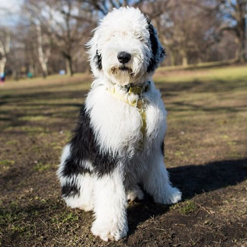 Opal Sheepadoodle Old English Sheepdog Standard Poodle Mix 5 M
