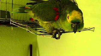 videos de papagaios falantes - YouTube