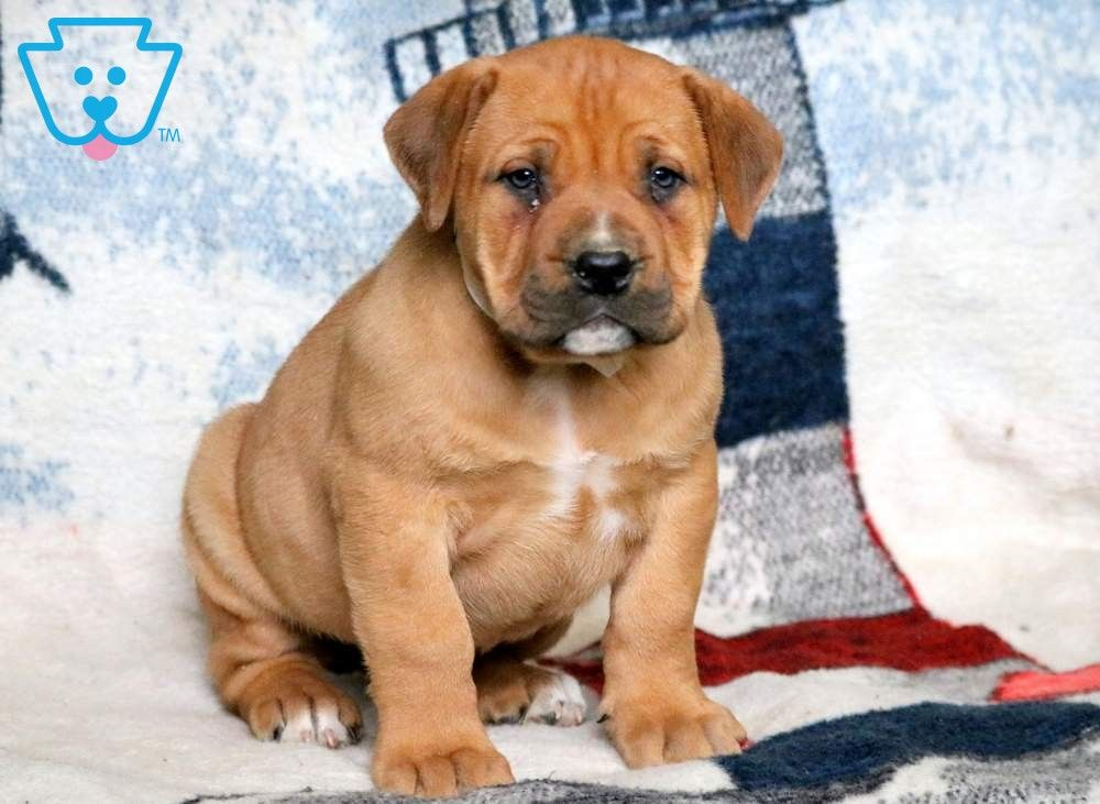 Winnie Puppies South African Boerboel Puppies For Sale