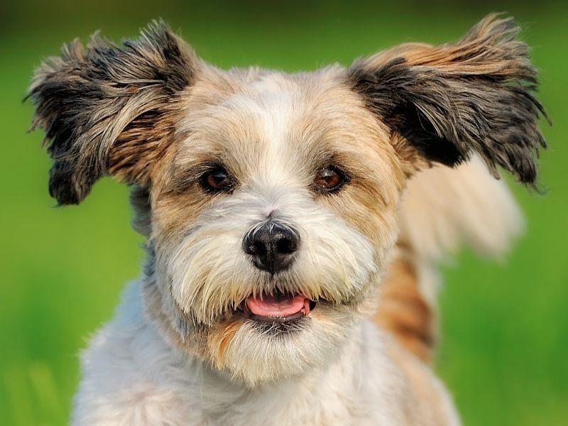 Der Bolonka Zwetna Kleiner Hund, großes Herz! Seite 1