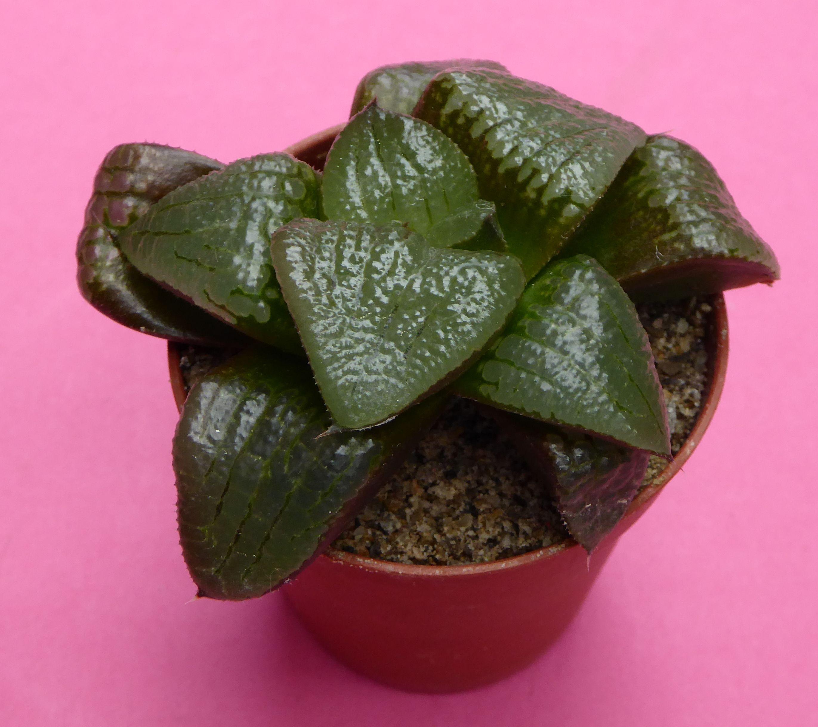Garden Plants Succulents Haworthia Comptoniana /'Akanko/'