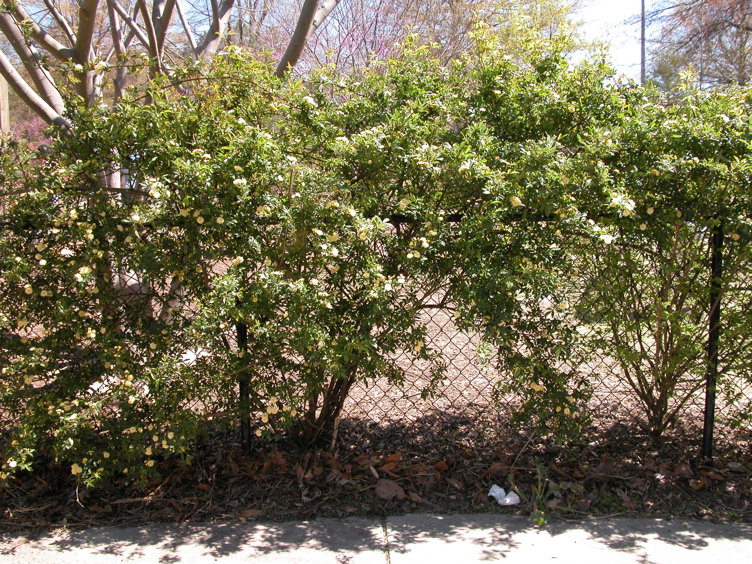 naturalizing chain link fences how to grow plants along your