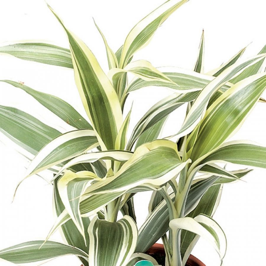Sanderiana plants pinterest plants gardens and flowers for Plantas ornamentales de interior