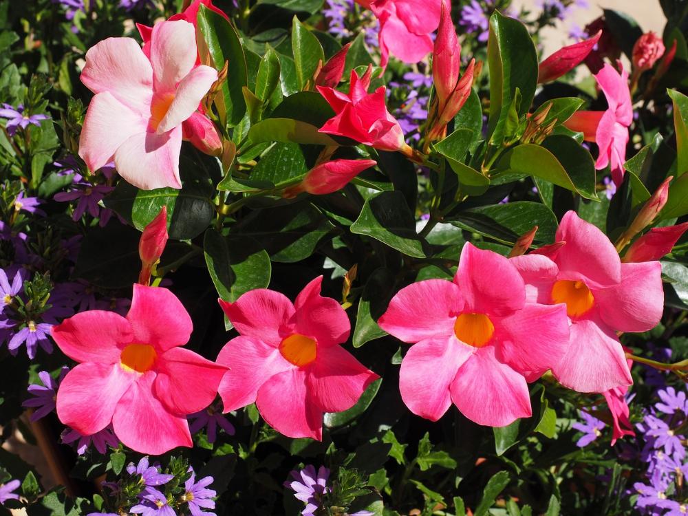 Kwiaty Na Balkon 28 Latwych W Uprawie Roslin Mandevilla Vine Flowering Vines Climbing Plants Trellis