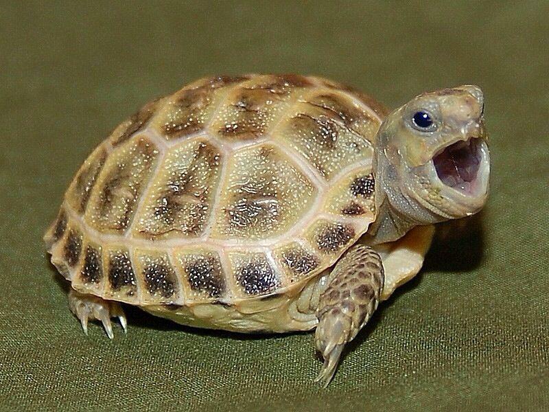 Russian tortoise hatchling Russian tortoise, Tortoises