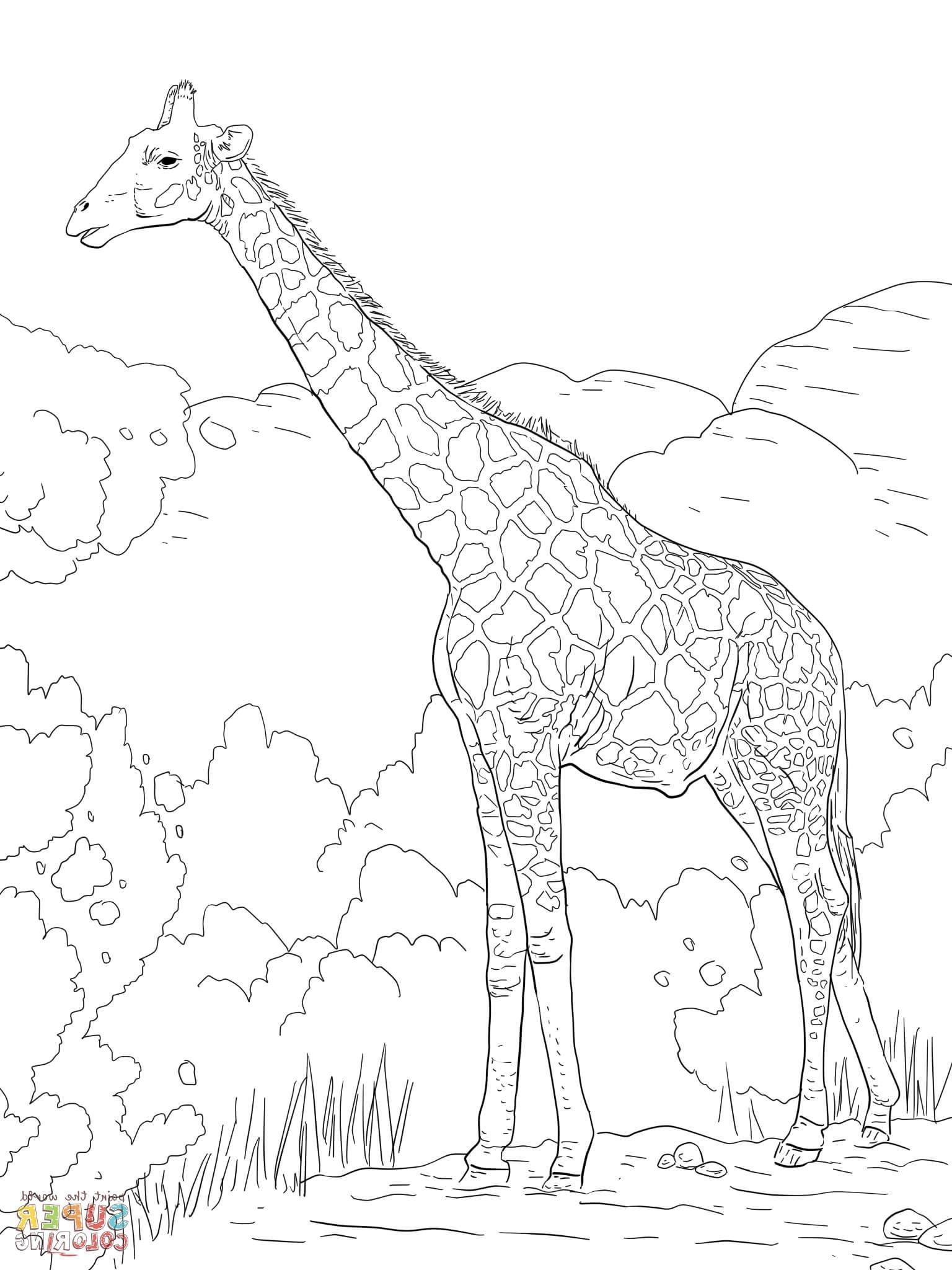 Giraffe Coloring Page Giraffe Coloring Pages Coloring Pages Giraffe Colors
