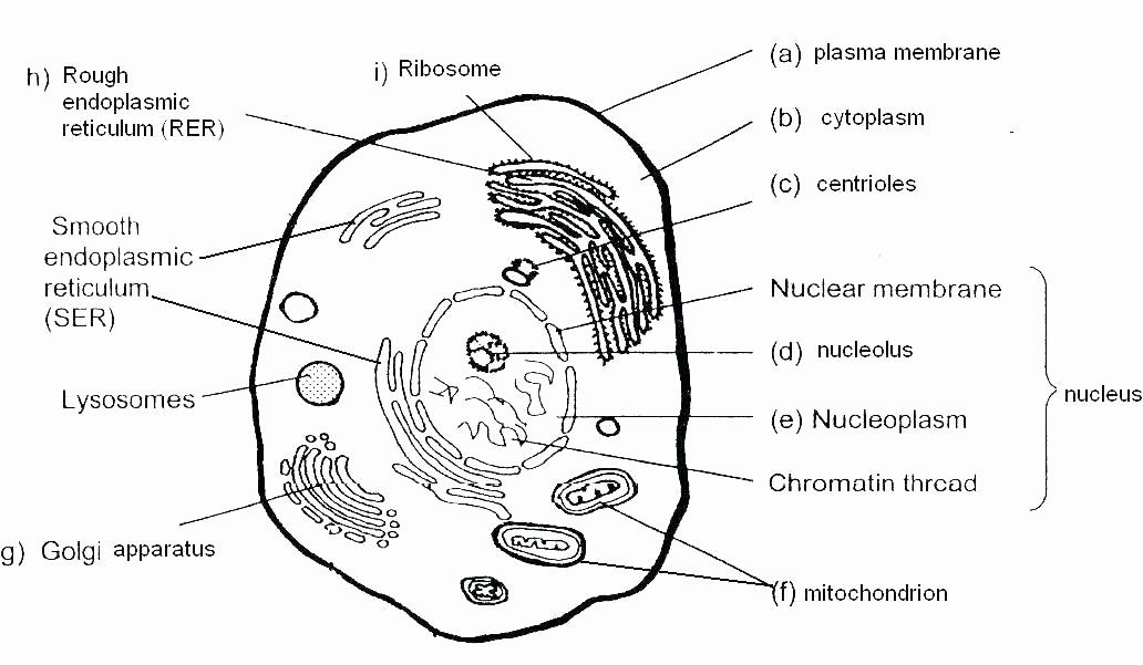 Printable Animal Cell Diagram Free Printable Cell ...
