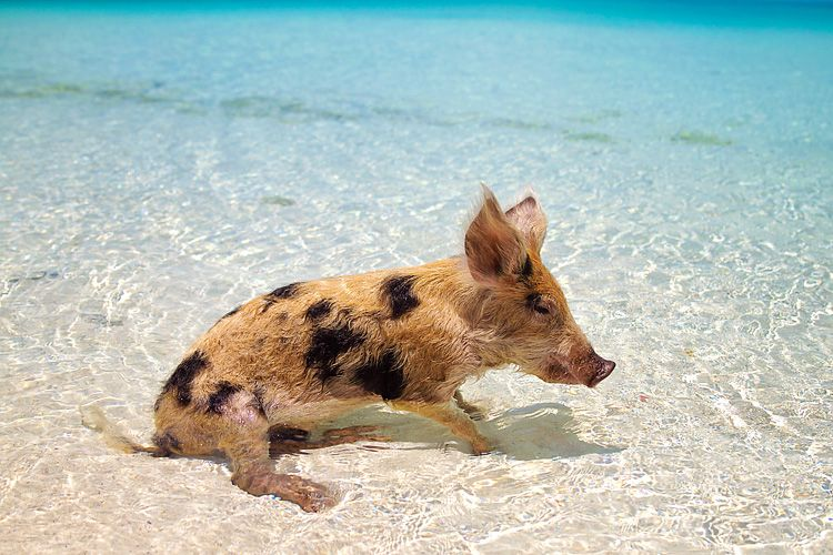 how to get to pig beach from nassau bahamas