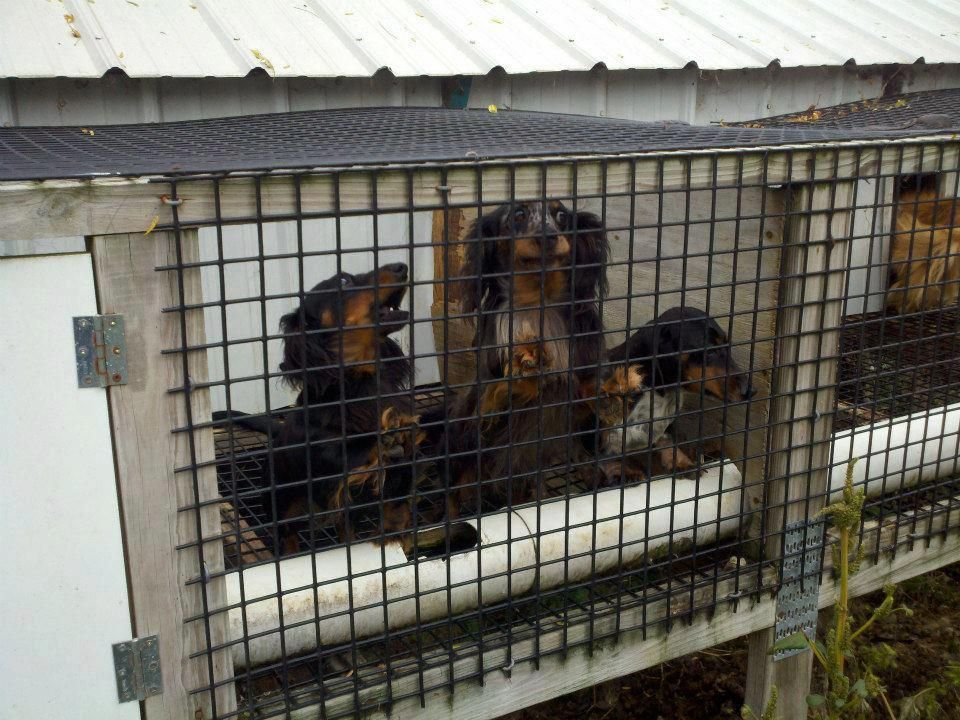 Doxies Rescued From Ohio Amish Puppy Mill October 1 Dachshund
