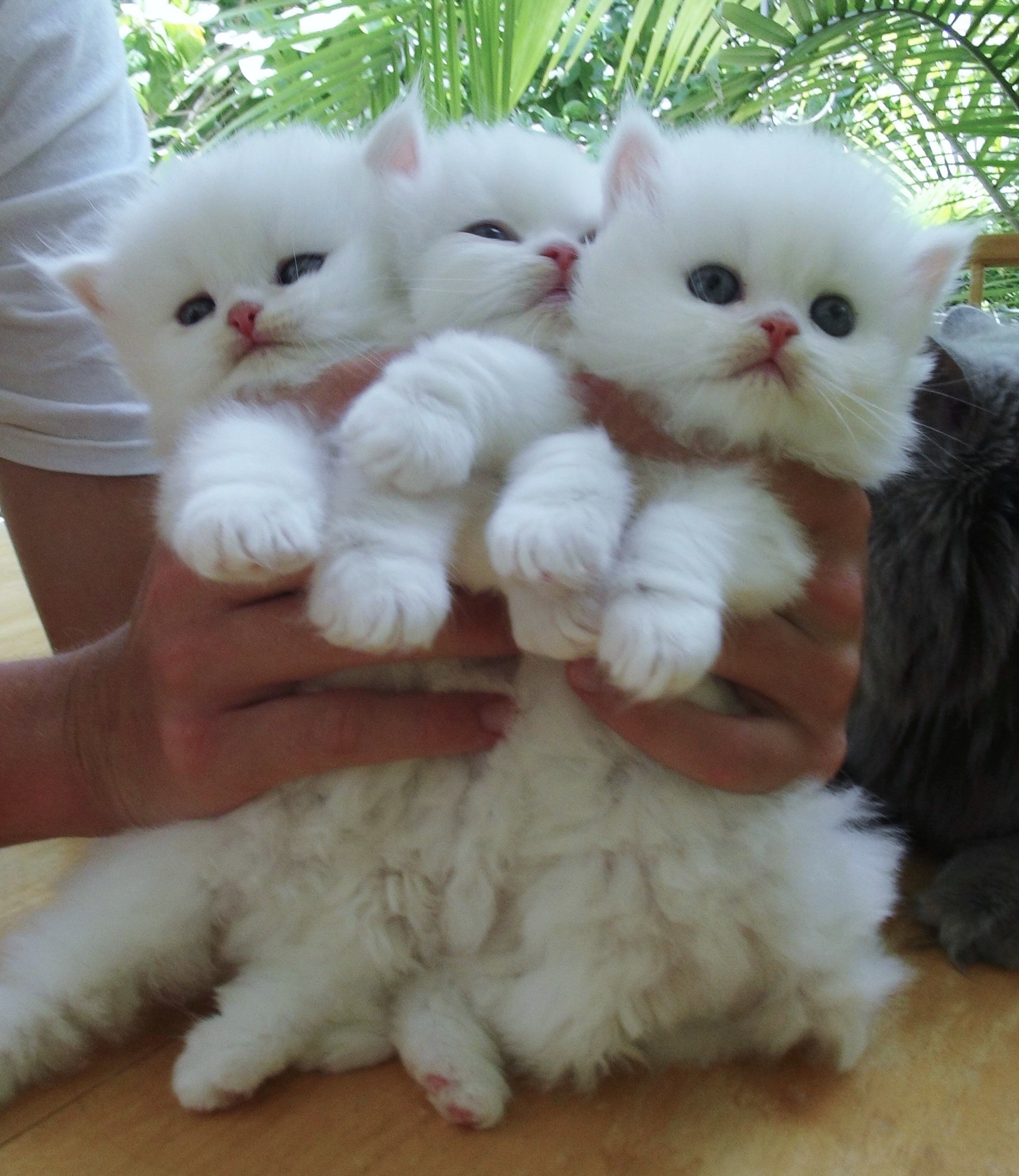August 2016 Last Kittens For This Time Scottish Fold Short Hair Cream Color Point Boy And Girl 3 Months 9 Kittens Cutest Cute Cats Cute Baby Animals