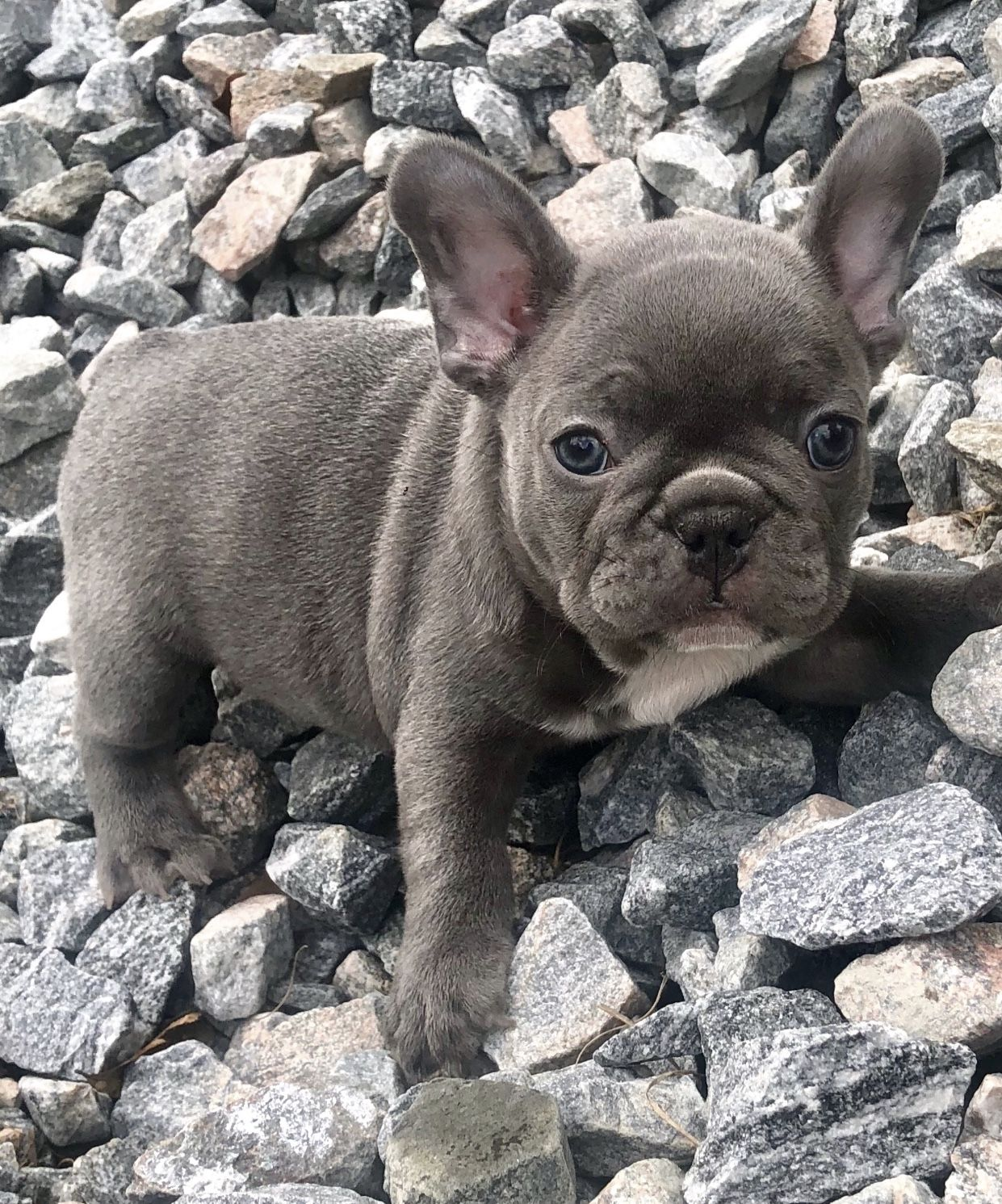 Little Murphy Blue Perfection Www Poeticfrenchbulldogs Com