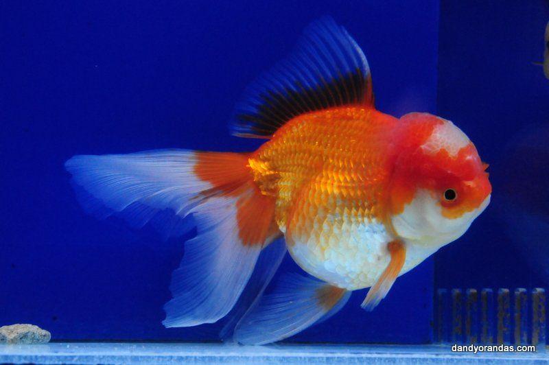 Red White Oranda Dandyorandas Com Goldfish Red And White Fish