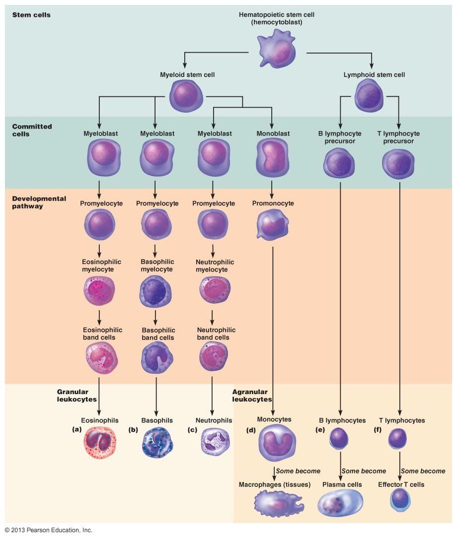 Stem Academy Pre Nursing Pathway: 17.11 Leukocyte Formation. Leukocytes Arise From Ancestral