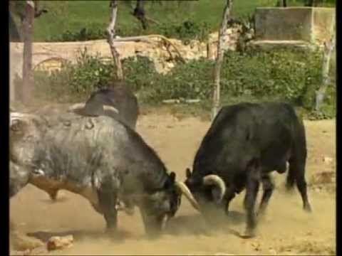 Pelea de toros lucha a muerte youtube toros bravos pinterest toros muerte y cuerno - Videos animales salvajes apareandose ...