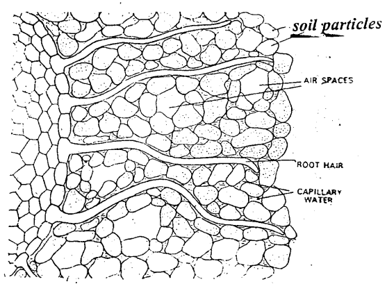 Why is the structure of the root hair is quite suitable