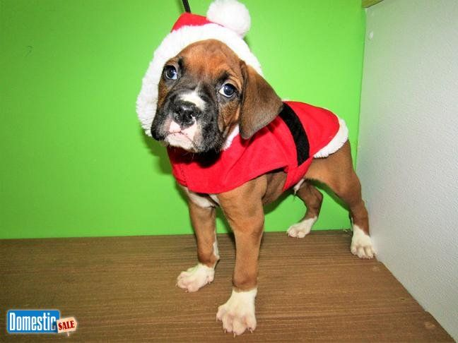 Boxer Male Puppy. XTRA NICE!! Family raised. Vet Checked