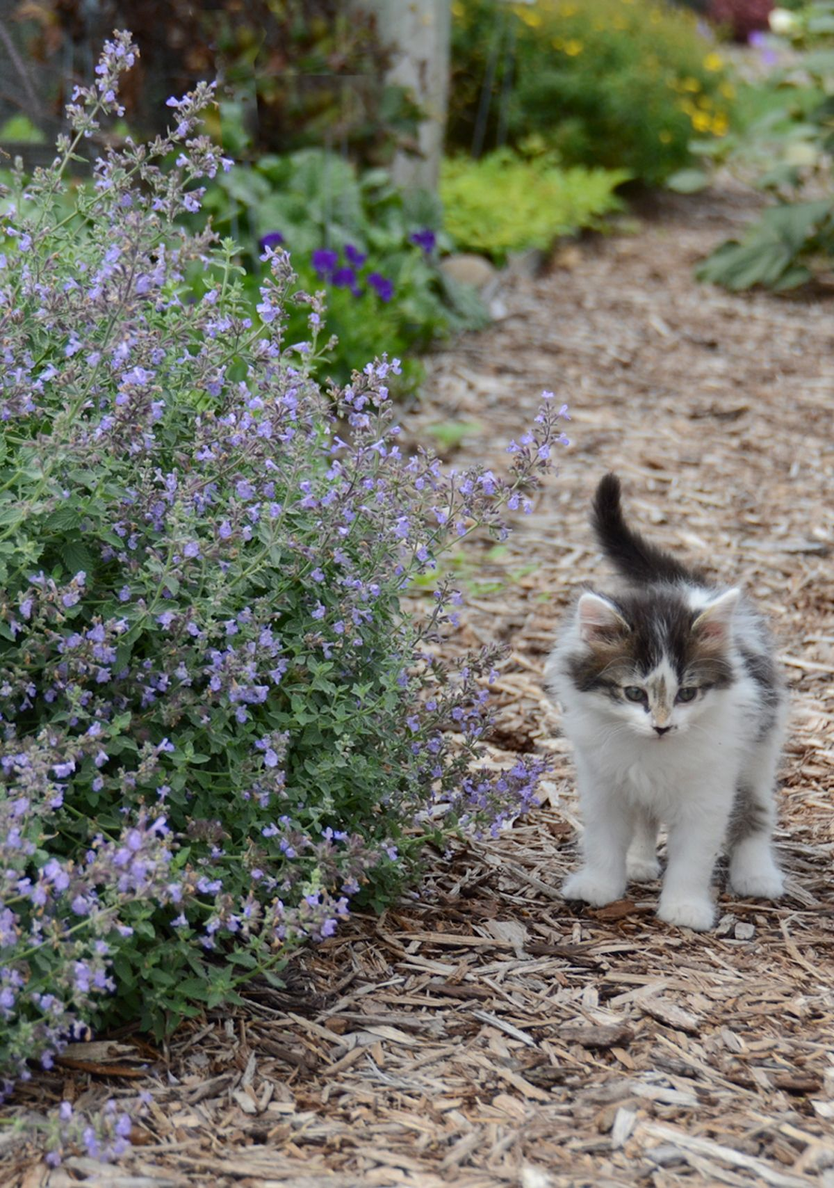 'Cat's Meow' Catmint Nepeta faassenii Drought