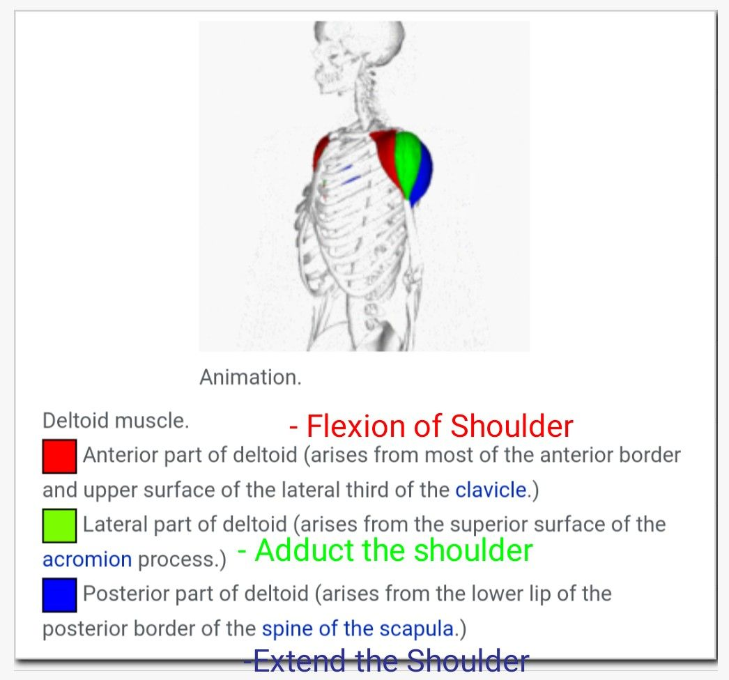 Parts Of Deltoid Muscle Their Action Correction Abducts The