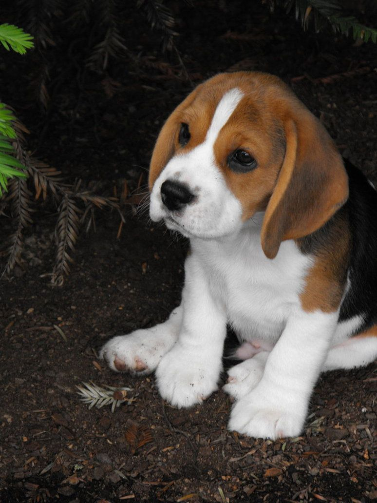 Pondering Life By Jc35663 On Deviantart Cute Beagles Beagle Puppy Baby Beagle