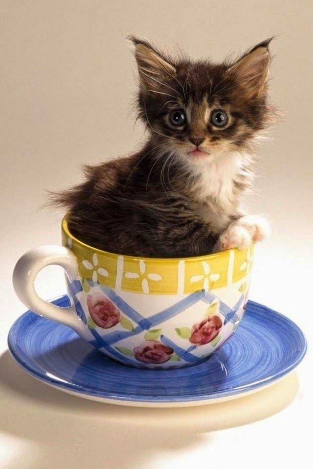 21 Pictures Of Cats Looking Cute In Cups Teacup Kitten Teacup Cats Kittens Cutest