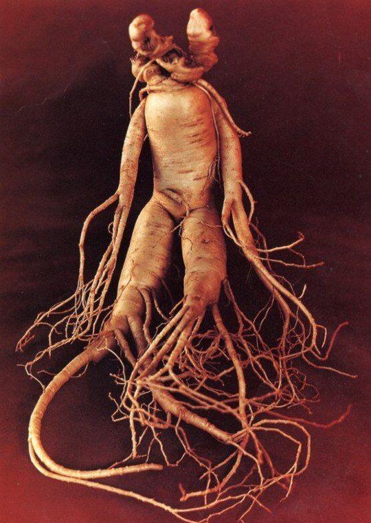 Mandragora Prototype Pinterest Witch Herbs Mandrake Root