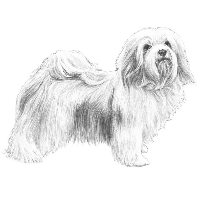 Havanese Dog Breed Information Havanese Dog Breeds Havanese Dogs
