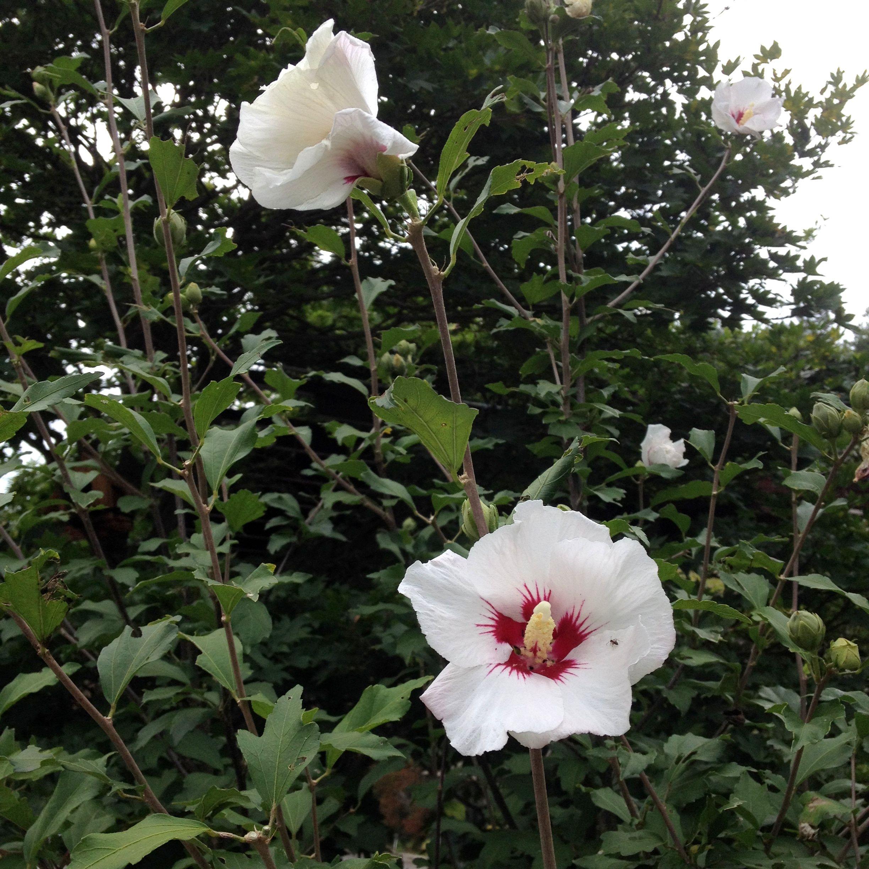 White Hand Size Flowers Japan Kobuchizawa Nature And Neighbour