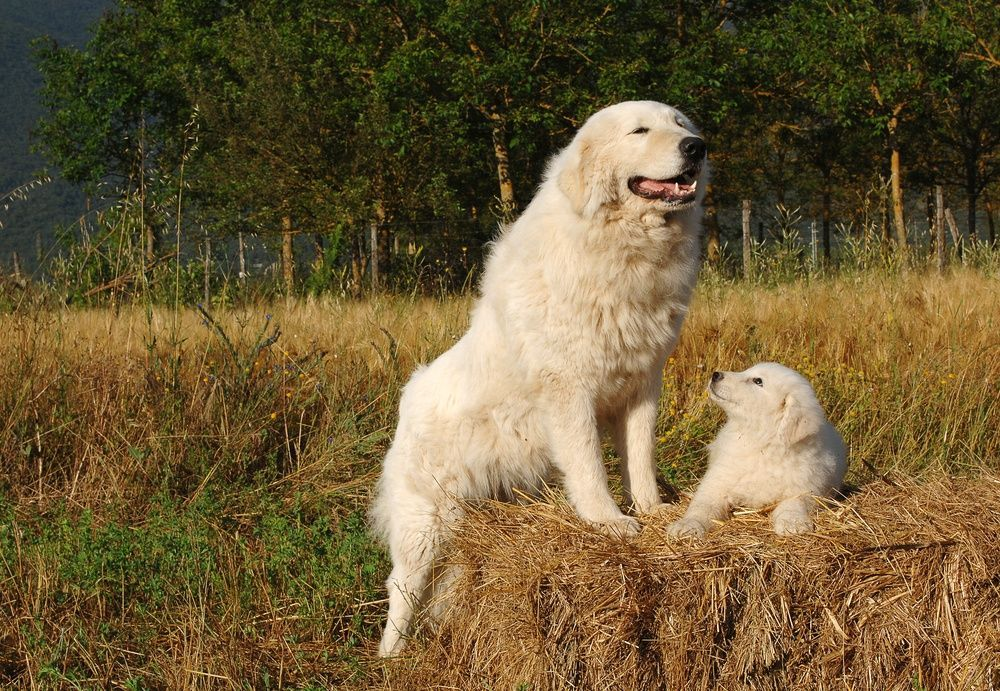 Top 10 Farm Dog Breeds Petguide In 2020 With Images Every