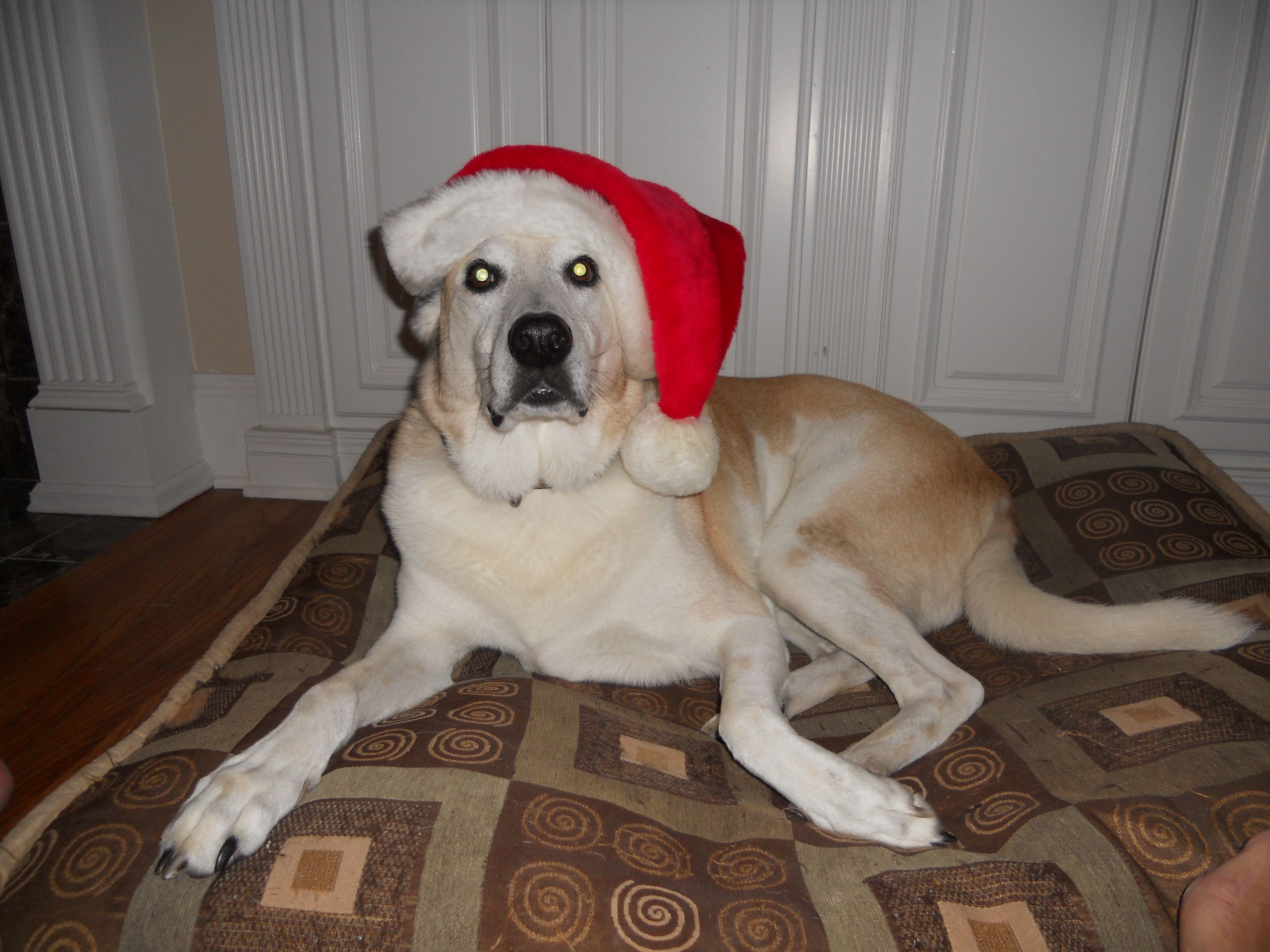 Jack on vacation with FlipFlop dogs for Christmas.   #dogs #dogboarding