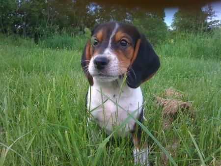 Stella lives in Vermont with her big brother Astrolabe and mostly loves to eat, chew, snuggle and sleep. Even though she looks sad pretty much all the time, that's because she's a beagle!